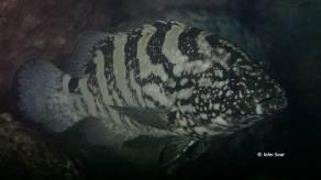 Black Rock Cod (Epinephelus daemelii