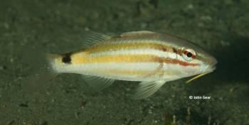 Black Spot Goatfish (Parupeneus spilurus)