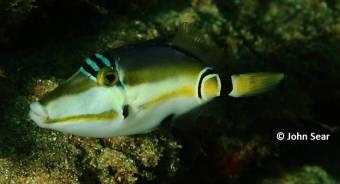 Half Moon Picasso Triggerfish (Rhinecanthus lunulata)