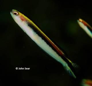 Eastern Hulafish (Trachinops taeniatus)