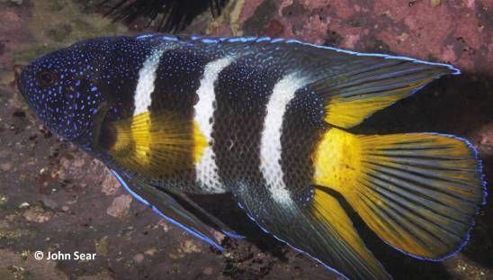 Eastern Blue Devil (Parapleiops bleekeri)