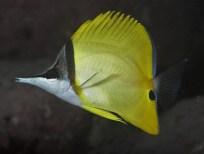 Forceps fish (Forcipiger flavissimus)