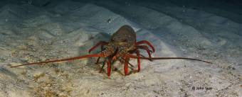 Eastern crayfish
