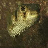 Three bar porcupine fish