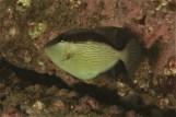 Bridled Triggerfish