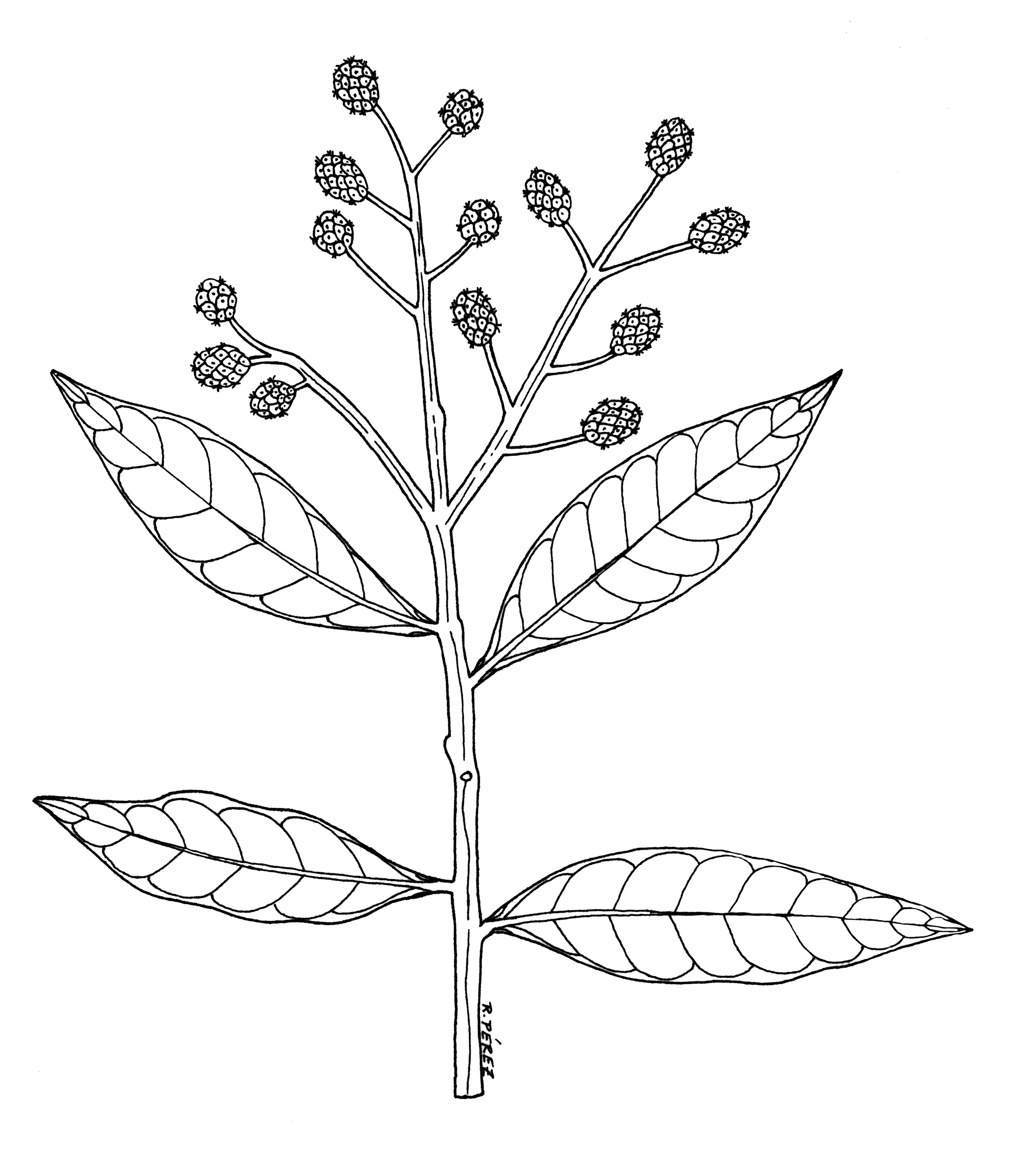 Panama Watershed Tree Atlas