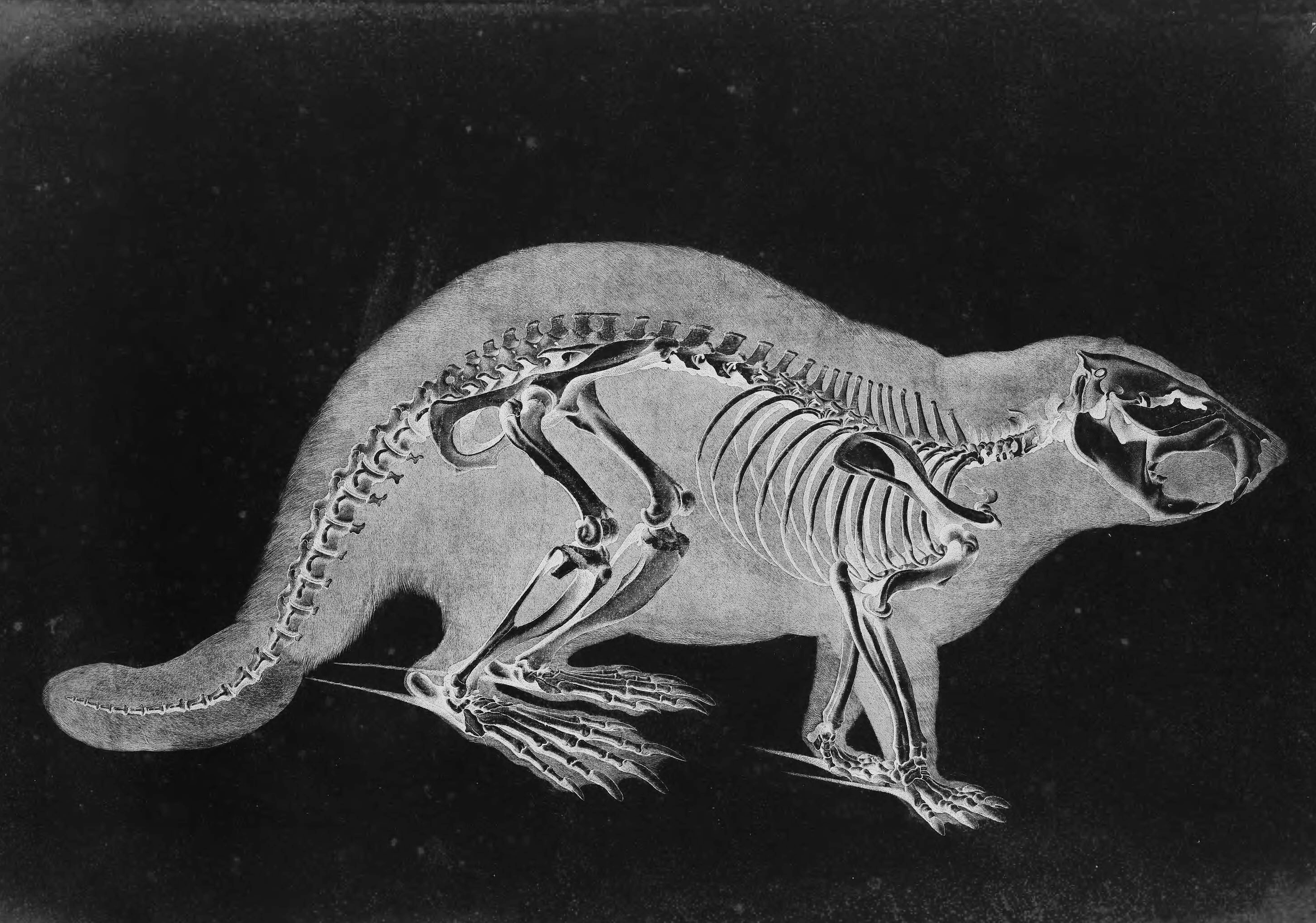 opossum skeleton diagram peripheral nerves labeled beaver skull free engine image for user
