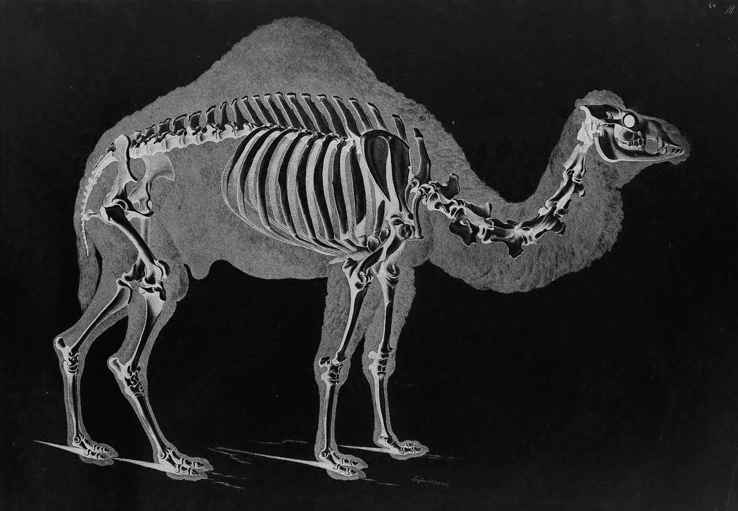 chicken skeleton diagram plano concave lens ray bird bone structure blank elsavadorla