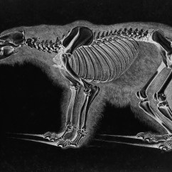 Bear Skull Diagram Kelp Forest Food Web Of Seal Bone Animation Bones Elsavadorla