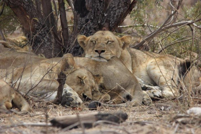 Drie leeuwinnen liggen lui op elkaar