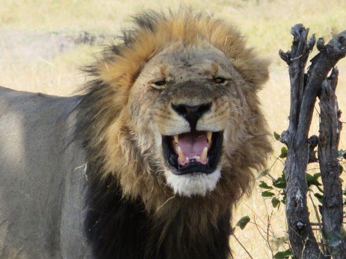 frontale afbeelding van mannetjes leeuw met grote manen en bek open