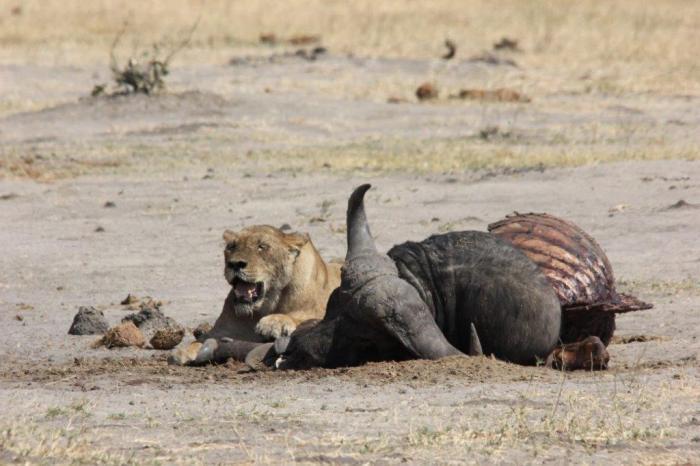 leeuwin ligt naast aangevreten buffel