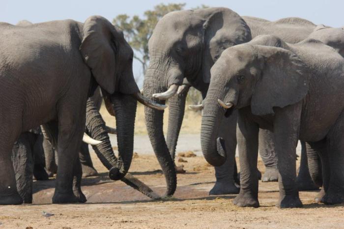 vier olifanten in kring