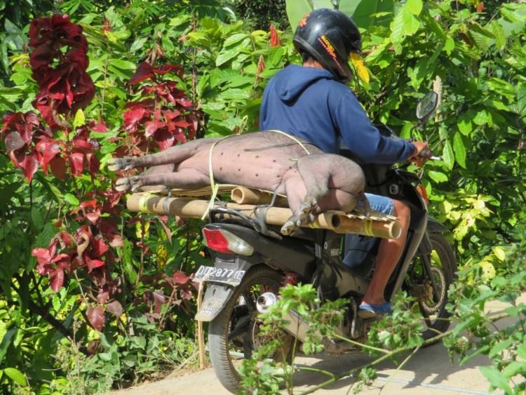 vervoer van varken op brommer