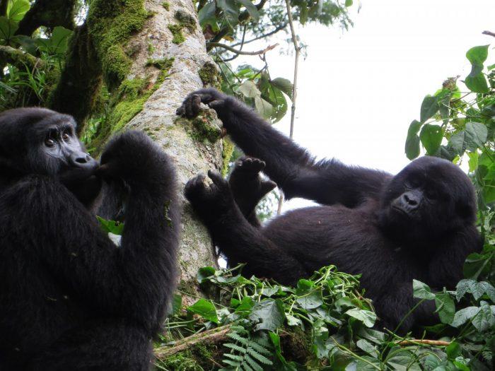 twee gorilla's in boom