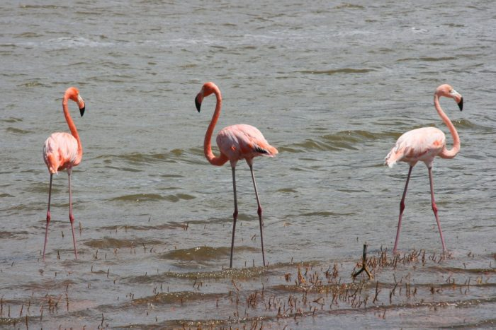 drie flamingo's in gotomeer Bonaire