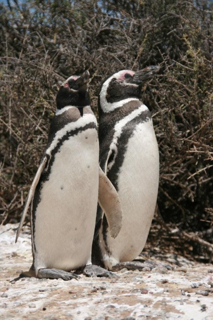 staande pinguins