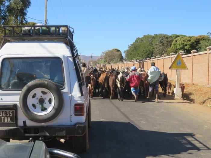 Kudde koeien op de weg in Madagaskar