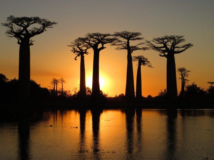 alle des baobabs