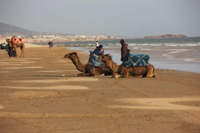 Kamelen op het strand Taghazout