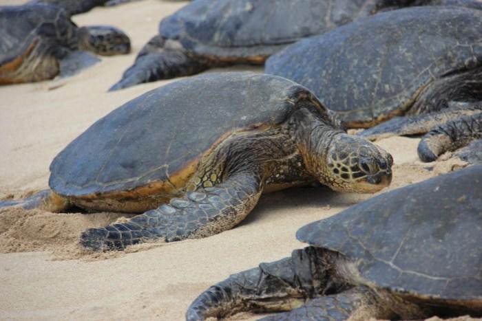Schildpad op Ho'okipa beach