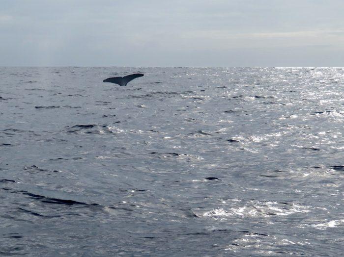 Walvis rurutu