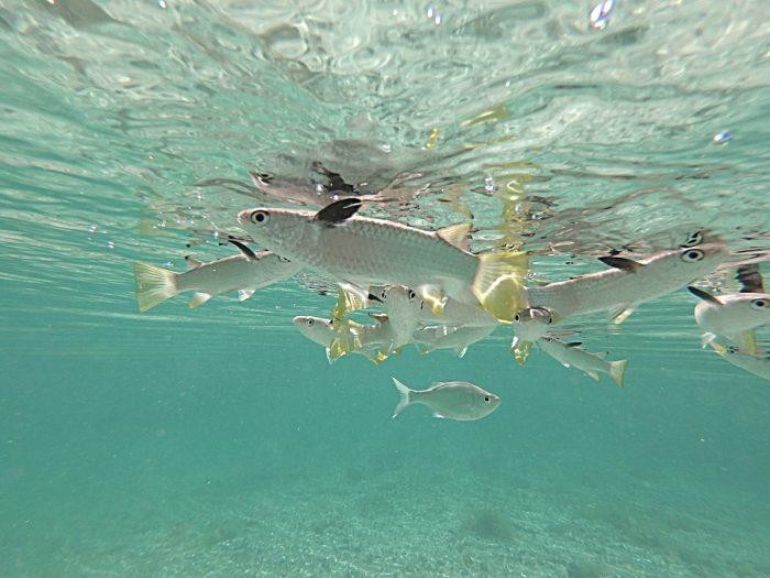 Vissen aan het wateroppervlak