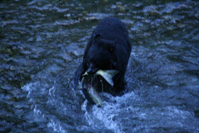 zwarte beer vangt vis