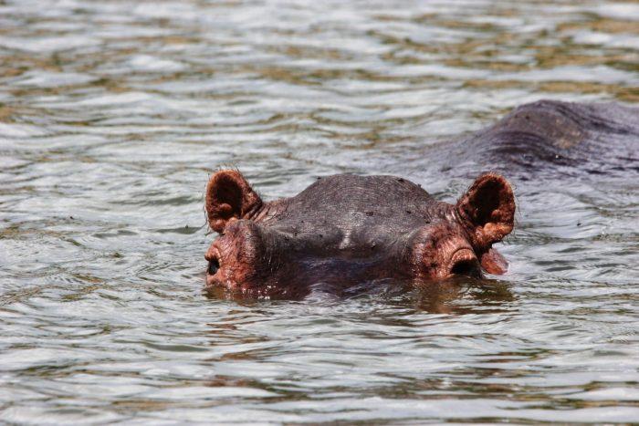 nijlpaard in water