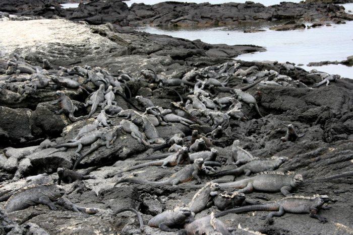 stapels zeeleguanen op Fernandina