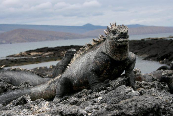 zeeleguaan Galapagos Eilanden