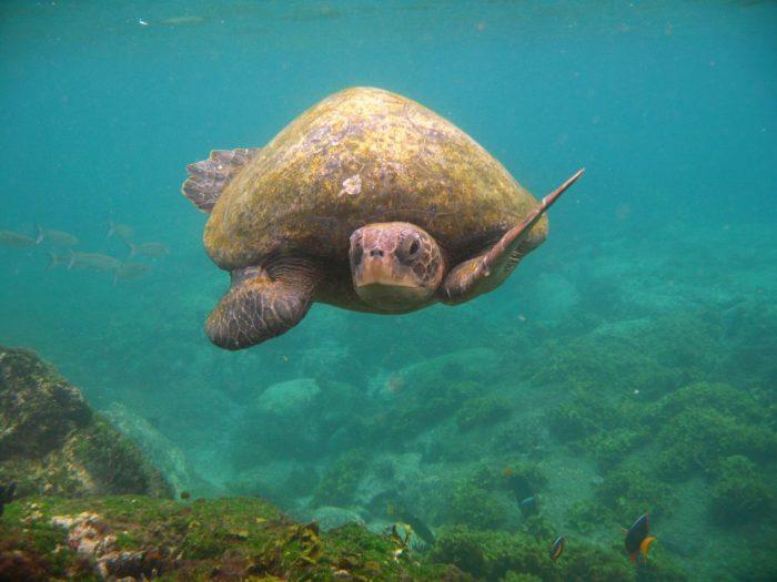 groene zeeschildpad