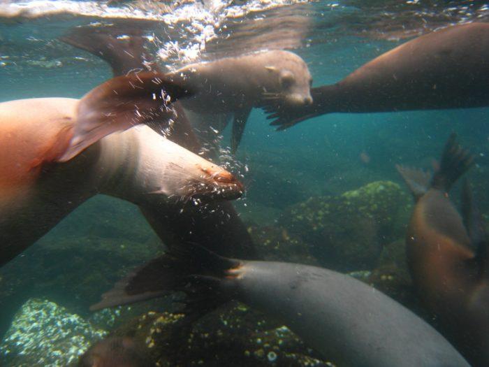 duiken of snorkelen met zeeleeuwen Galapagos Eilanden