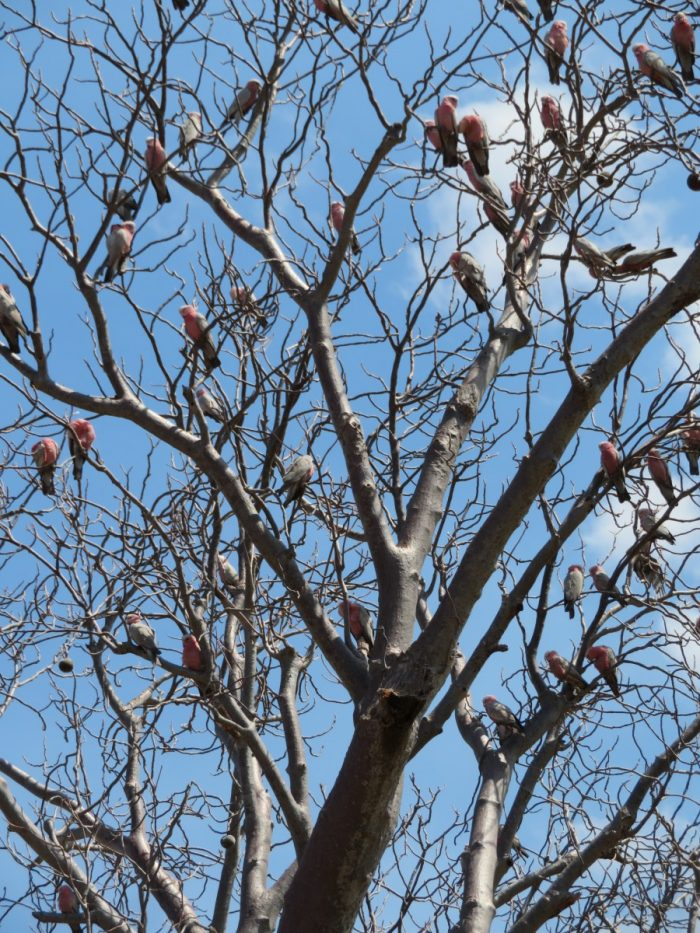 kaketoes in de bomen