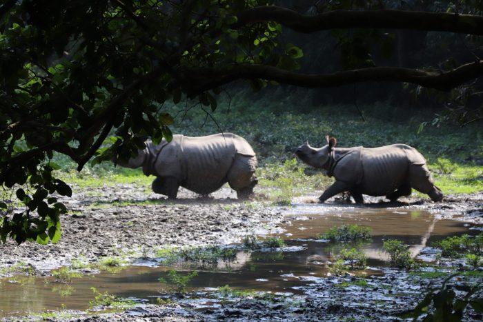neushoorns chitwan national park
