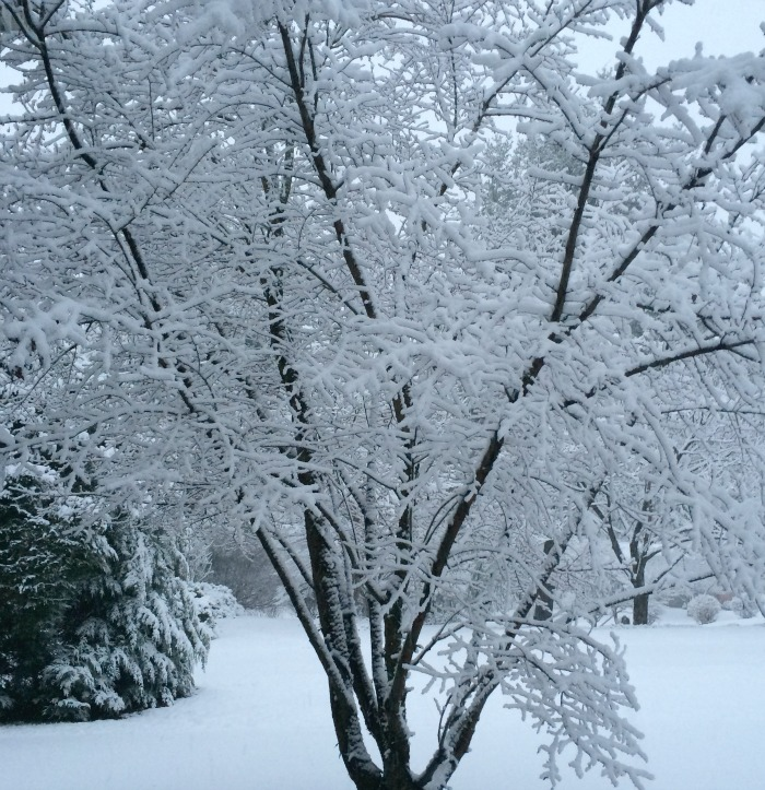 Snow covered tree in CT