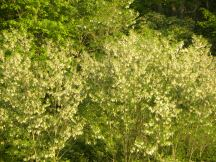 Black locust in flower, great bee forage and building material for ground durable posts
