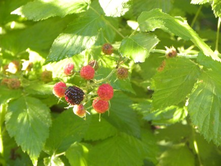 native black capped raspberries growing on the edge