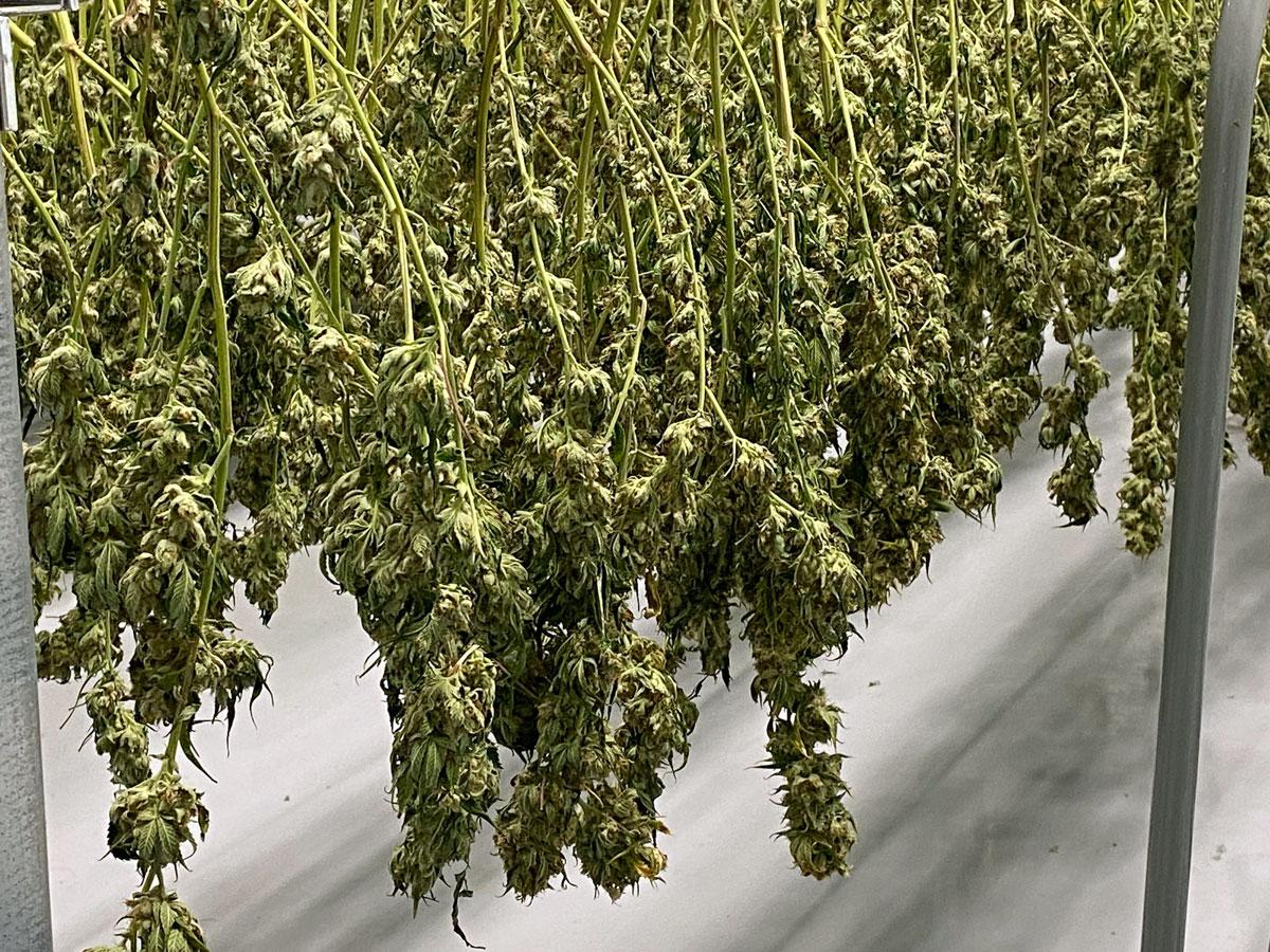 Cannabis plants (CTNewsJunkie / photo)