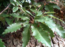 Chinquapin Leaves