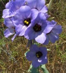 Texas bluebells