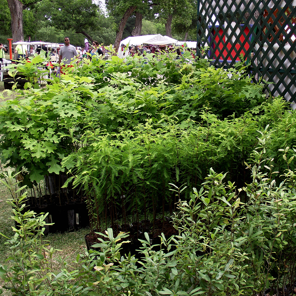 Each year up to 2,000 seedlings are adopted at the Mayfest Tree Give-a-way Booth sponsored by Cross Timber Urban Forestry Council - 1000