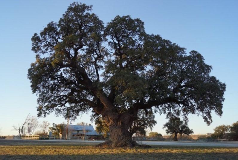 Texas Tree Bill