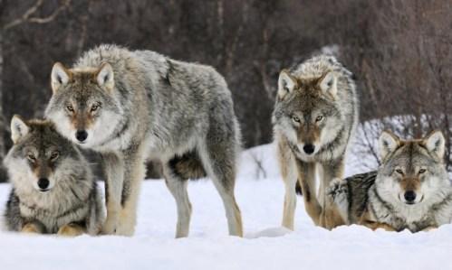 <p>Manada de lobos.</p>