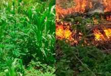 destruyen-plantio-marihuana-2