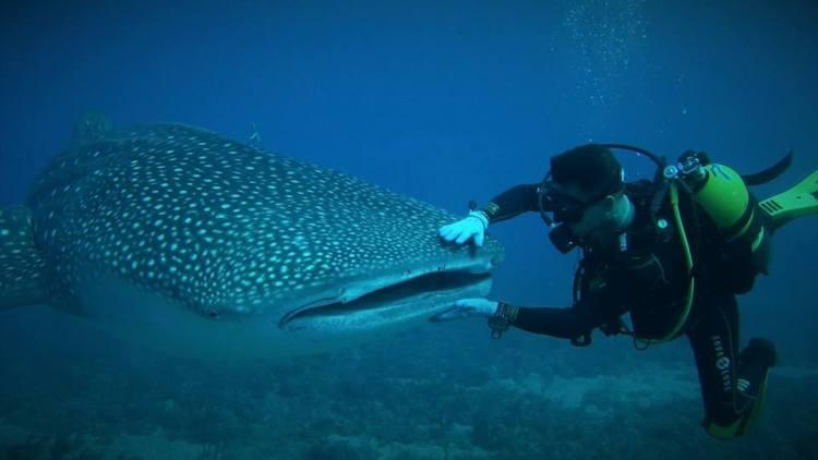tiburon ballena en Cuba
