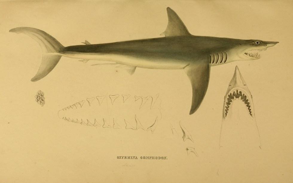 Cuban Fishing, 3-7-15, Mako Shark Or Dientusu, n280_w1150 by Biodiversity Heritage Library, Via Creative Commons.