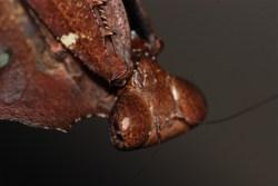 Deroplatys desiccata