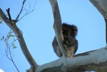australia-adelaide-by-kirstin-bebell-koala-2012