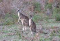 australia-mornington-penninsula-by-kim-kreutzer-kangaroos-2008-6